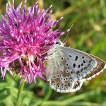 Chalkhill Blue on knapweed