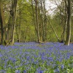 Bluebells in semi-natural ancient woodland