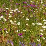 Emorsgate EM5 meadow mix