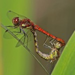 Common Darters paired
