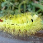 _1st Pale tussock moth caterpillar by MB