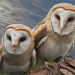 Barn Owls on the glove