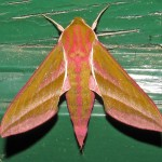 Elephant Hawkmoth on back door