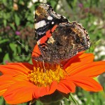 Red Admiral on Tithonia