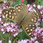 Speckled Wood on Marjoram