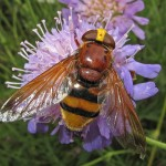 Volucella zonaria on Field Scabious