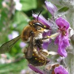 Woolcarder Bee on Lambs Lugs