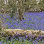 Froyle bluebells 0