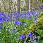 Froyle bluebells 3
