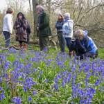 Froyle bluebells 4