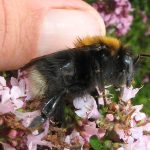 Bombus hypnorum queen