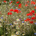 Sown wildflowers Froyle rec