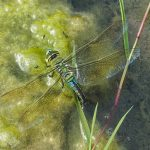 Emperor dragonfly egglaying Jul16