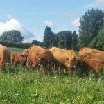 Mill Farm cattle